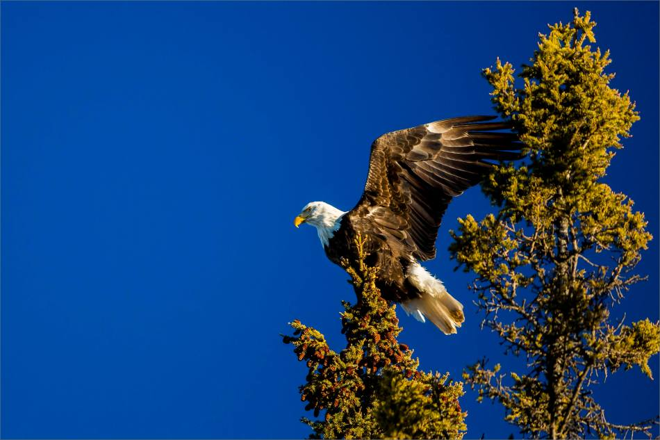 A New Year's Eve Eagle - © Christopher Martin-8609