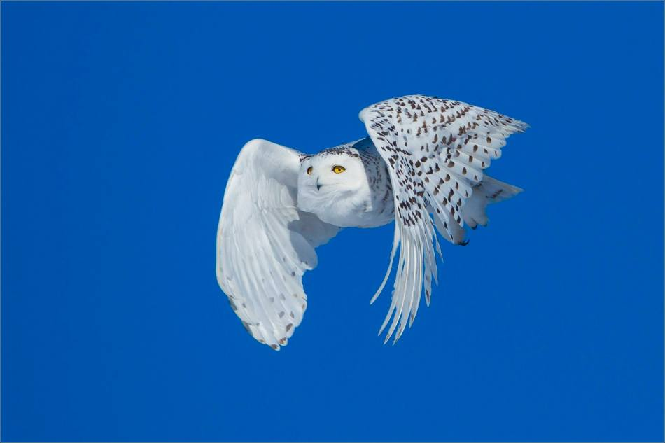 White owl, blue sky - © Christopher Martin-9212-2