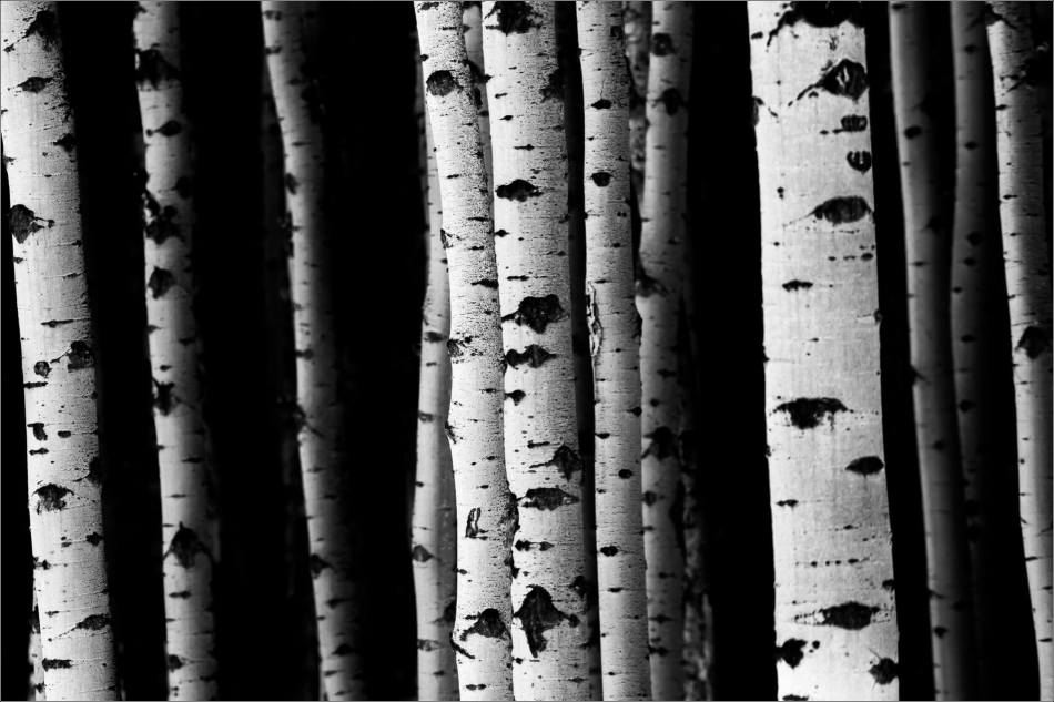 Aspen lines along Grand Valley Road - © Christopher Martin-1090