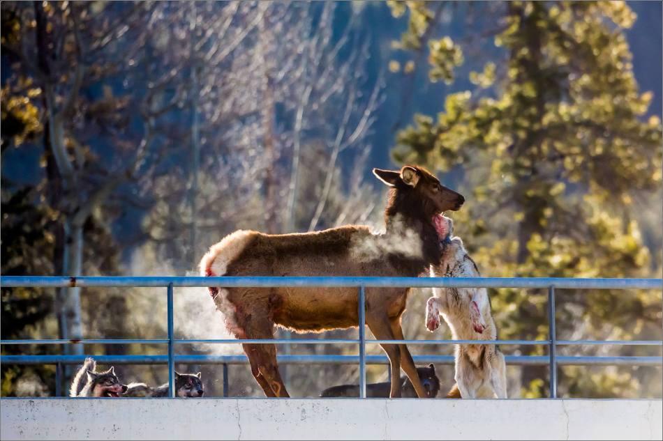 Banff wolf pack hunting an elk - © Christopher Martin-1607
