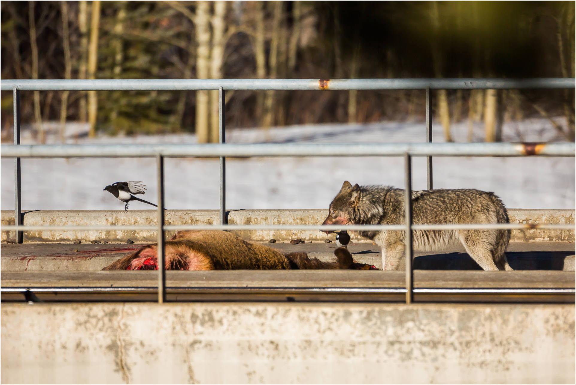 wolf attack in banff