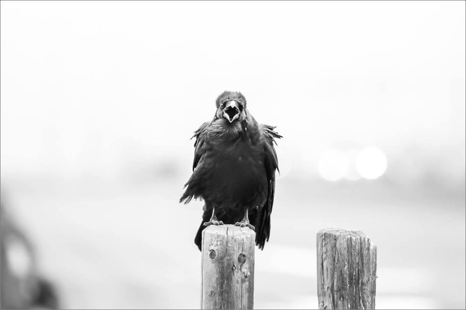 Cochrane Raven - © Christopher Martin-0024