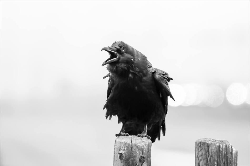 Cochrane Raven - © Christopher Martin-0030