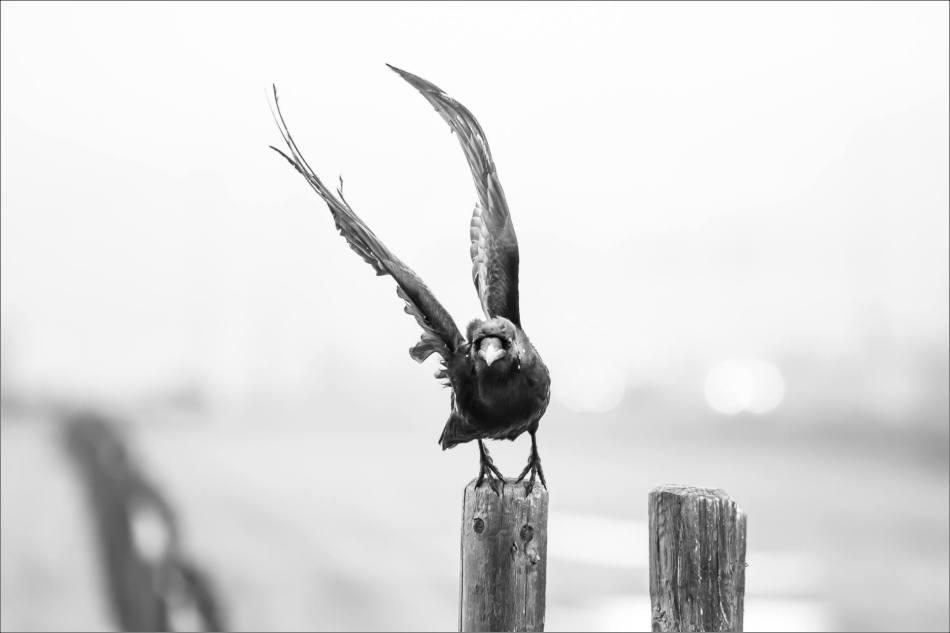 Cochrane Raven - © Christopher Martin-0058