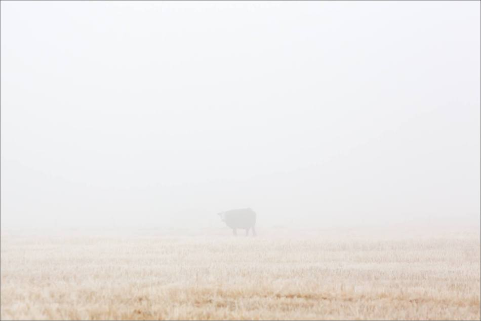 Hoar frost cow - © Christopher Martin-9969