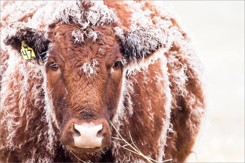 Hoar frost cow - © Christopher Martin-9987