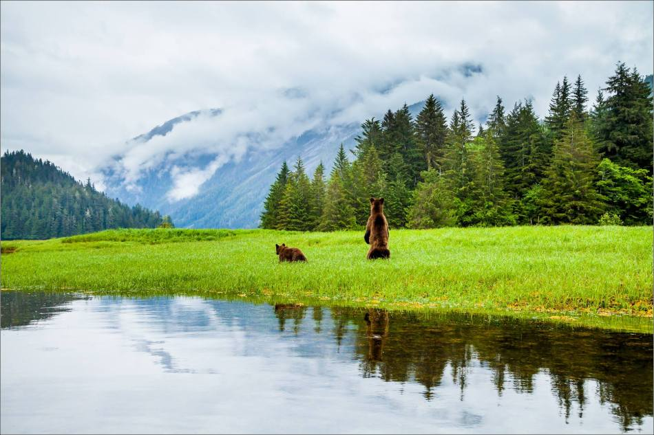 A wary mother Grizzly checks for trouble further down the Khutzeymateen Valley