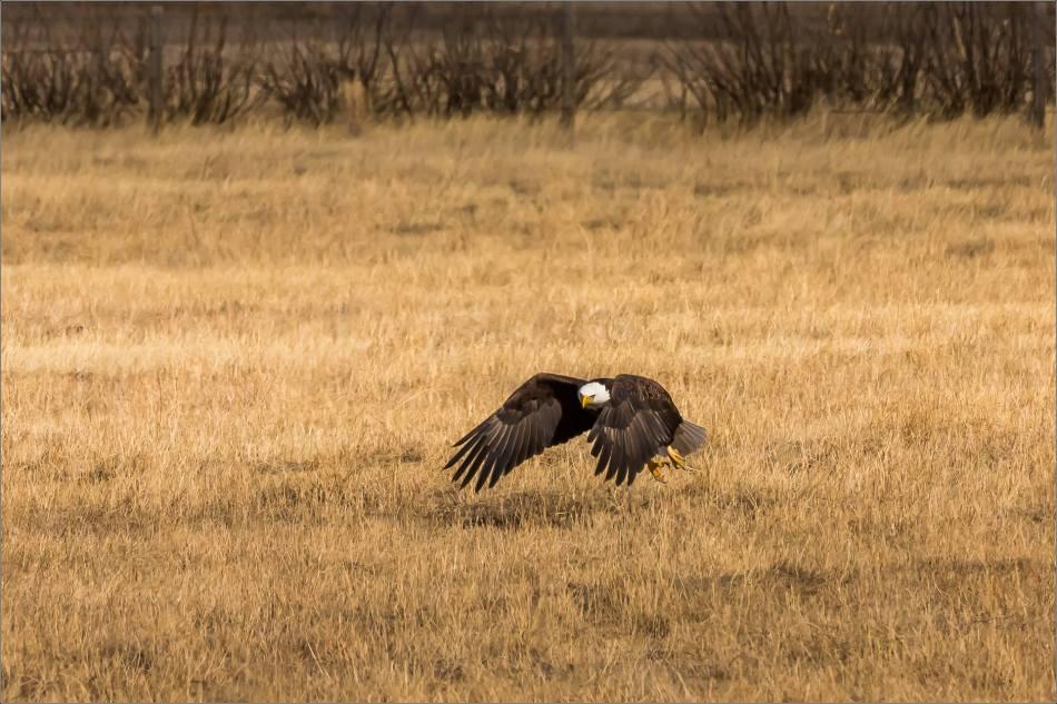 Bald eagle prairie flight - © Christopher Martin-3315