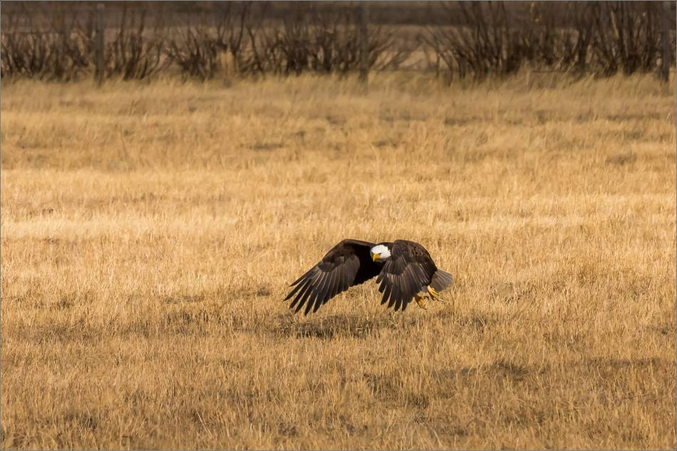 Bald eagle prairie flight - © Christopher Martin-3315