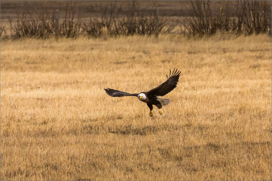 Bald eagle prairie flight - © Christopher Martin-3316