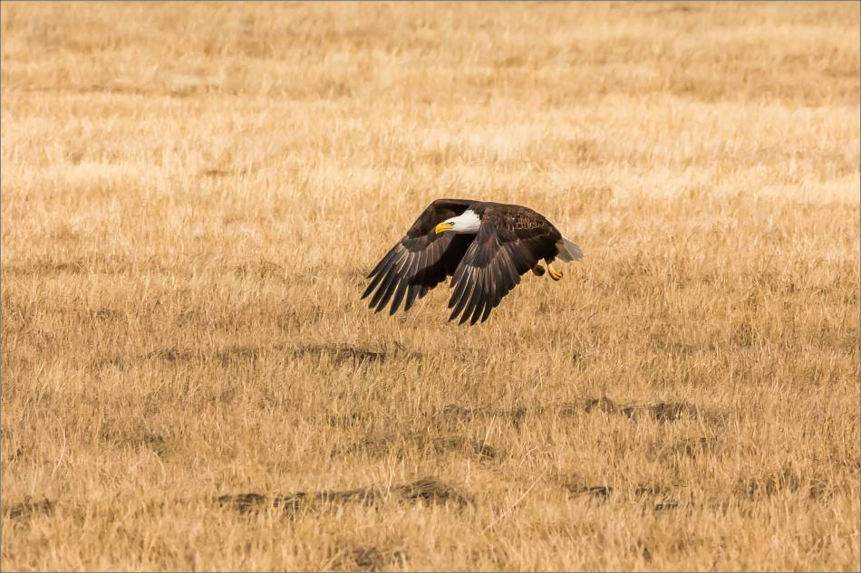 Bald eagle prairie flight - © Christopher Martin-3321