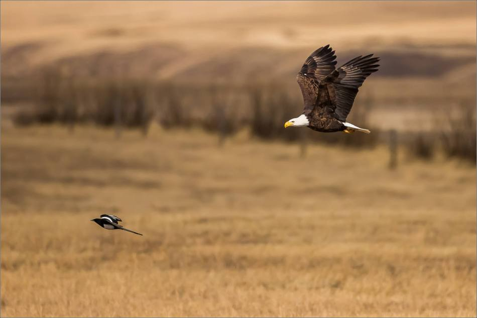 Bald eagle prairie flight - © Christopher Martin-3329