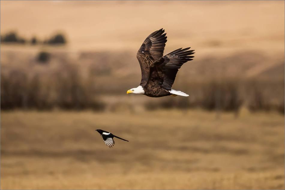 Bald eagle prairie flight - © Christopher Martin-3331