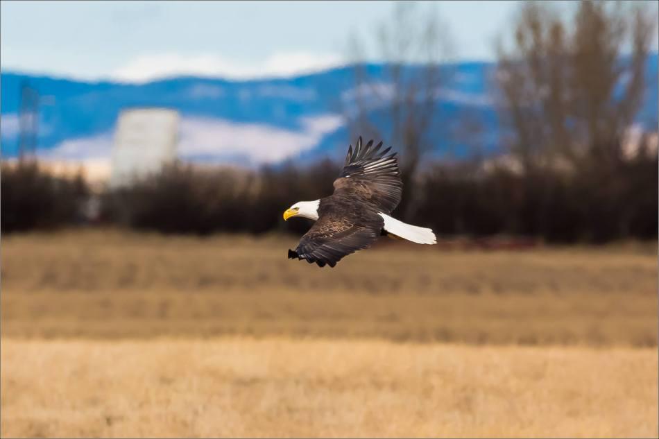 Bald eagle prairie flight - © Christopher Martin-3339