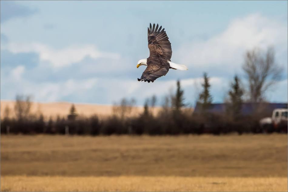 Bald eagle prairie flight - © Christopher Martin-3345