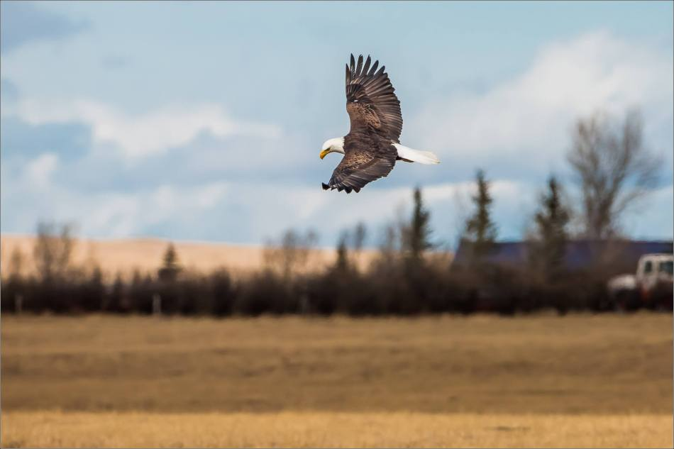 Bald eagle prairie flight - © Christopher Martin-3345
