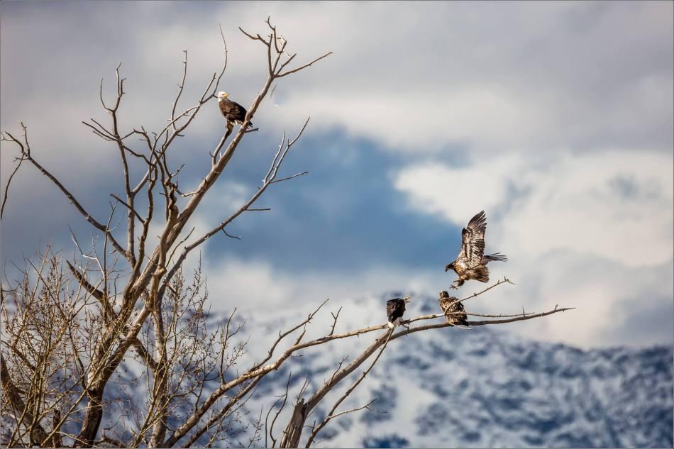 Bald eagle prairie flight - © Christopher Martin-3581