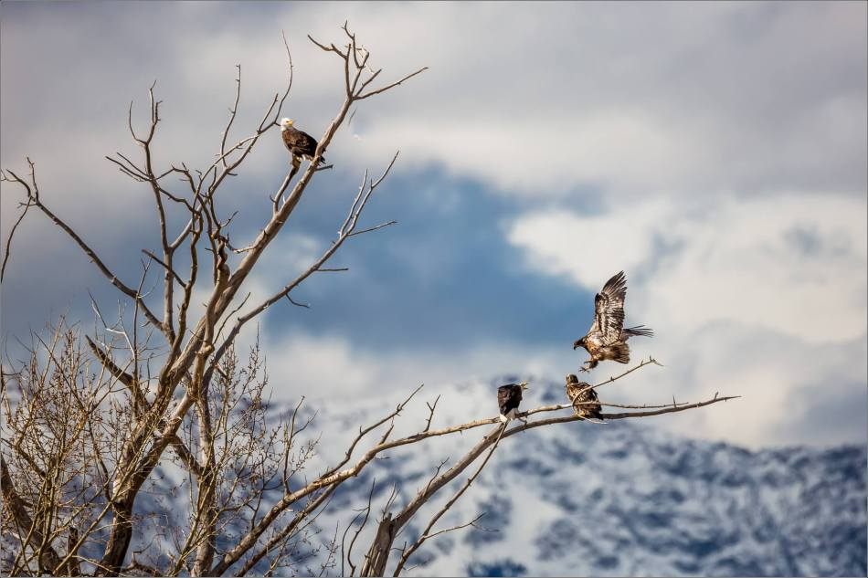Bald eagle prairie flight - © Christopher Martin-3581