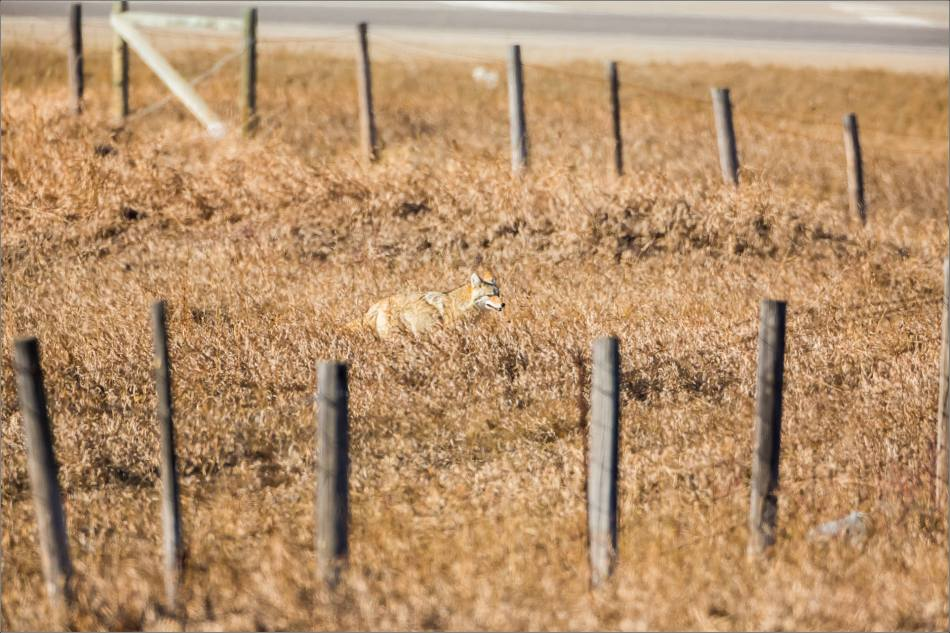 Coyote on the Prairie - © Christopher Martin-1966