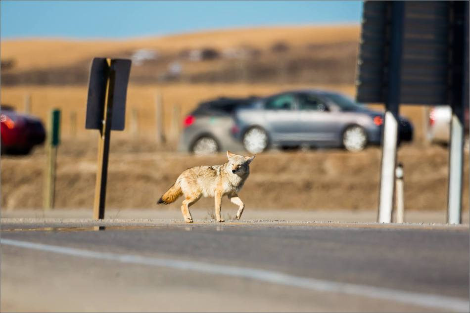 Coyote on the Prairie - © Christopher Martin-2000