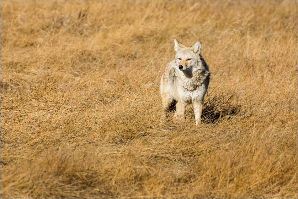 Coyote on the Prairie - © Christopher Martin-2016
