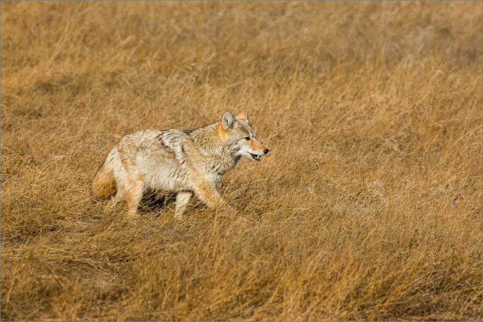 Coyote on the Prairie - © Christopher Martin-2026