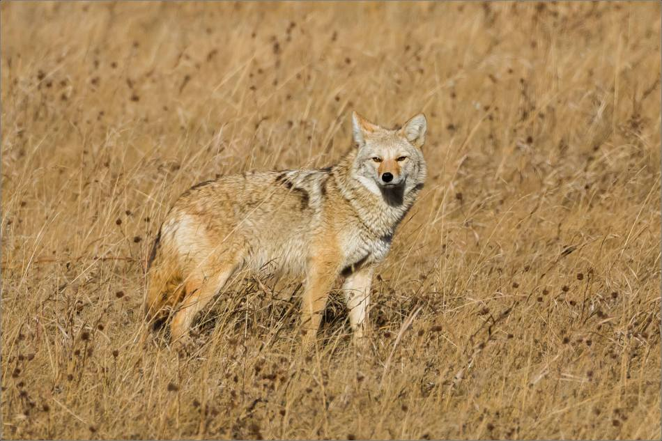 Coyote on the Prairie - © Christopher Martin-2033