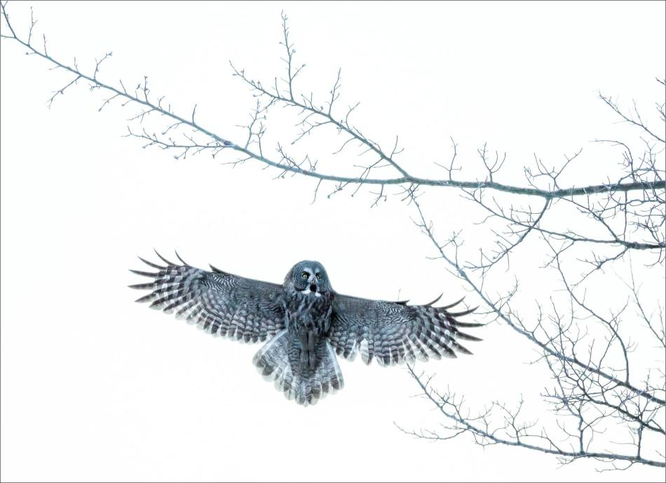 Great gray owl's ascension - © Christopher Martin-6677-2