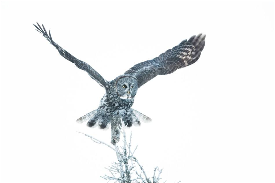 Great gray owl's winter flight - © Christopher Martin-6515