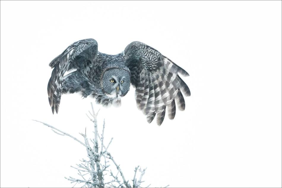 Great gray owl's winter flight - © Christopher Martin-6516
