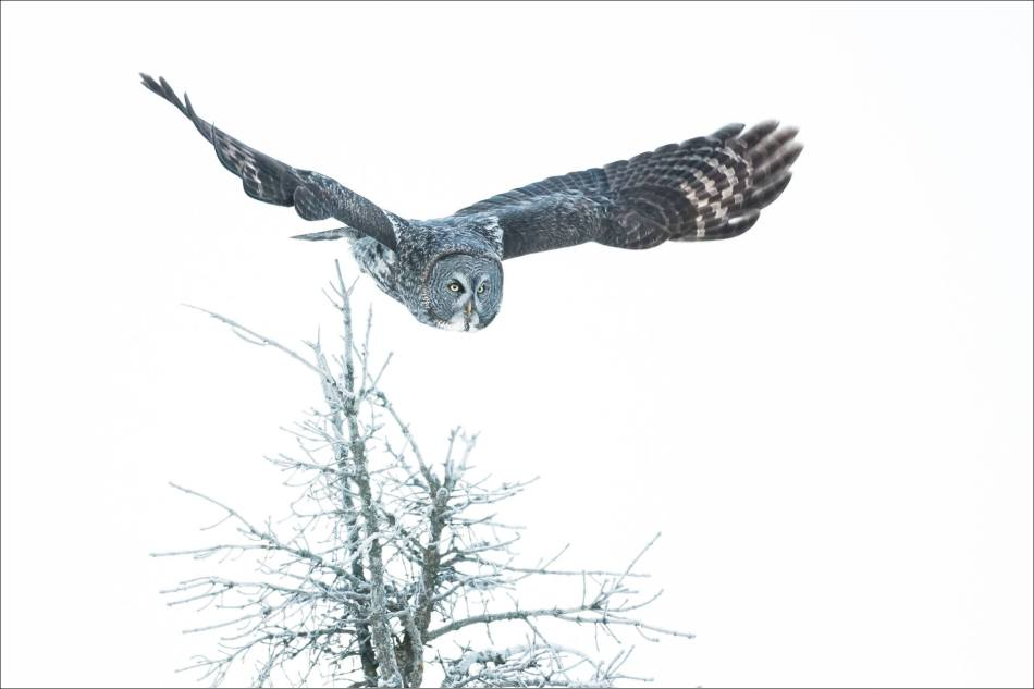 Great gray owl's winter flight - © Christopher Martin-6517