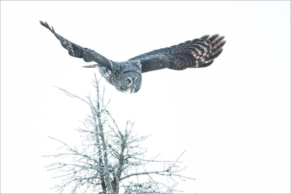 Great gray owl's winter flight - © Christopher Martin-6517