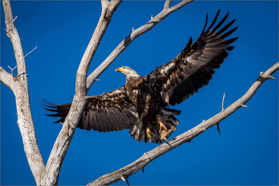 Livingstone Eagles - © Christopher Martin-5920