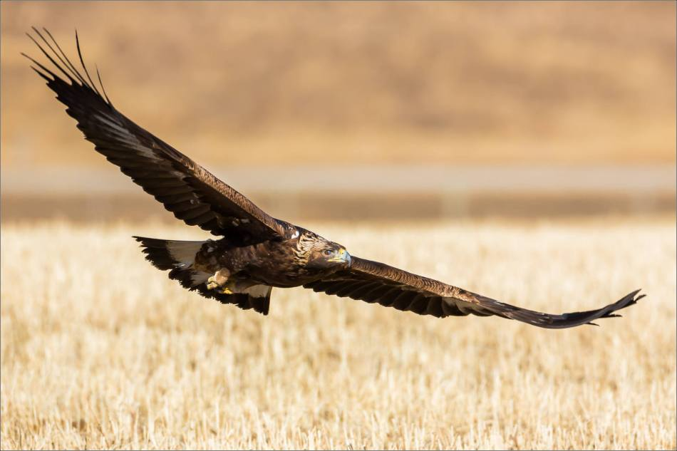 Low flying Prairie eagle - © Christopher Martin-4923