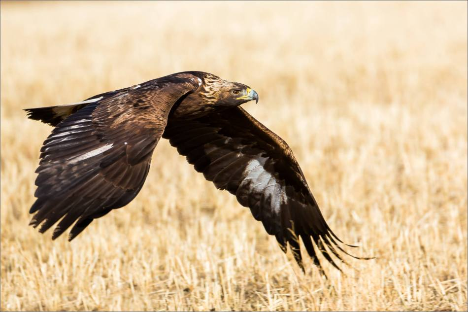 Low flying Prairie eagle - © Christopher Martin-4927