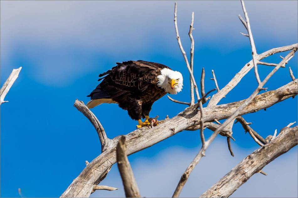 Maycroft bald eagles - © Christopher Martin-2842