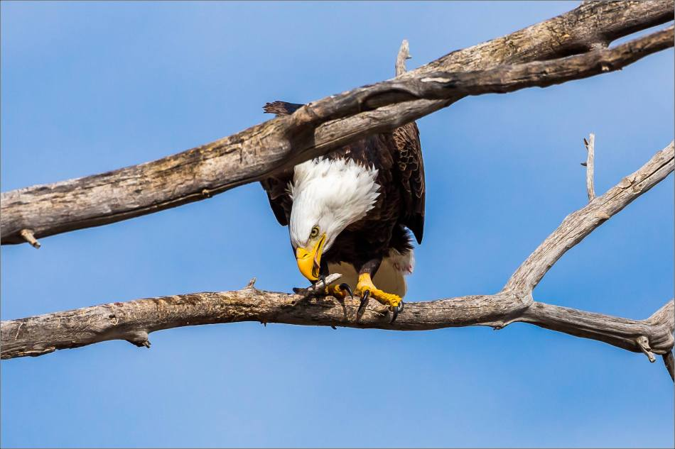 Maycroft bald eagles - © Christopher Martin-2910