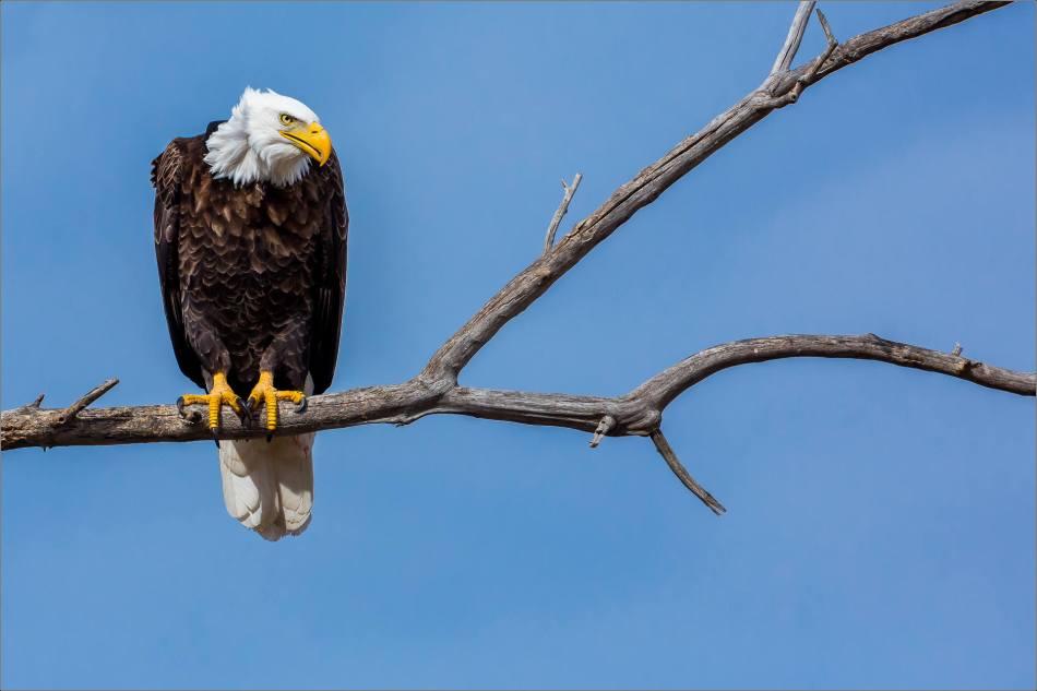 Maycroft bald eagles - © Christopher Martin-2967