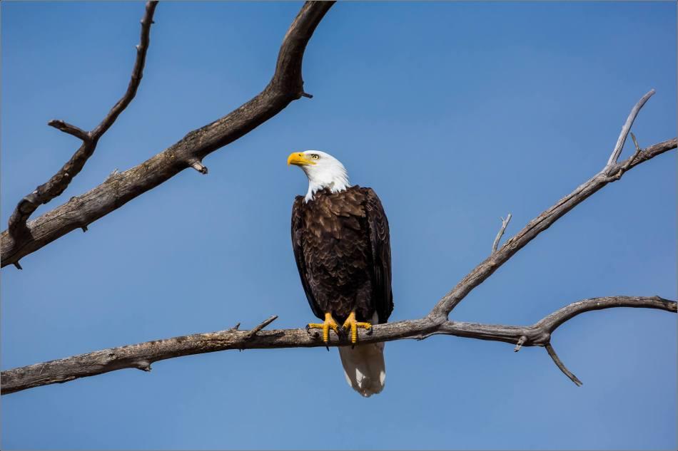 Maycroft bald eagles - © Christopher Martin-2990
