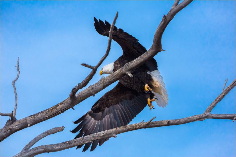Maycroft bald eagles - © Christopher Martin-3060