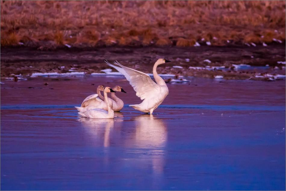 Swans starting the morning - © Christopher Martin-4472