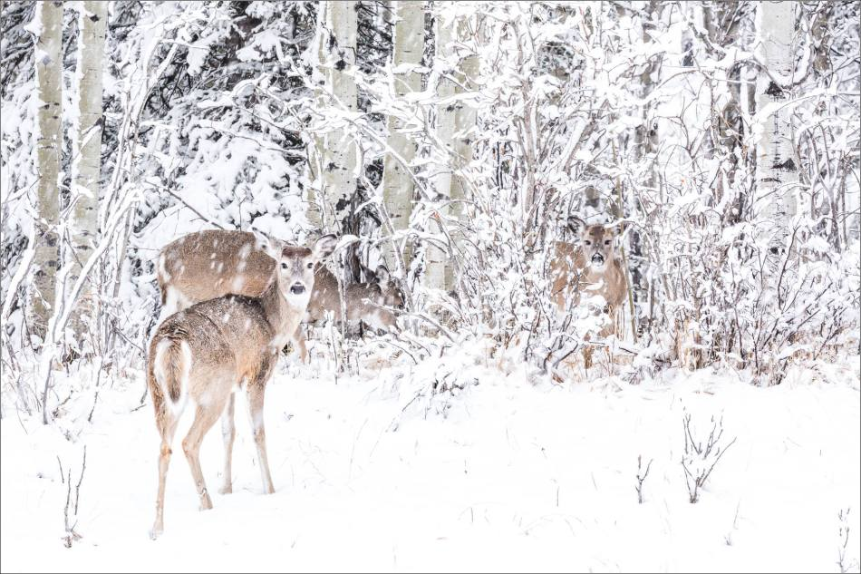White-tails in the snow - © Christopher Martin-6321