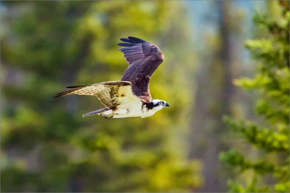 An Osprey in flight along the Bow River - © Christopher Martin-2669