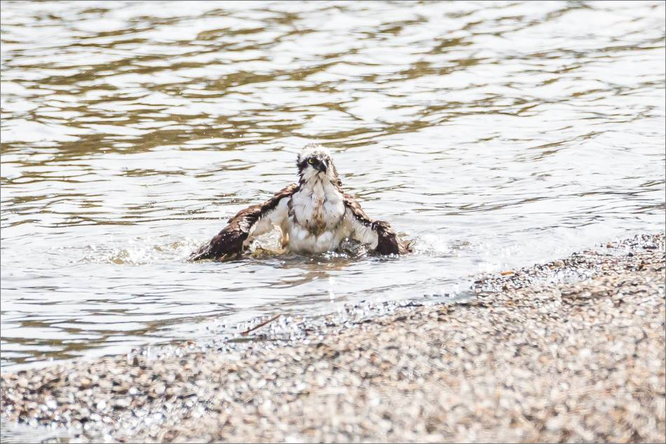 A bathing Osprey - © Christopher Martin-2703