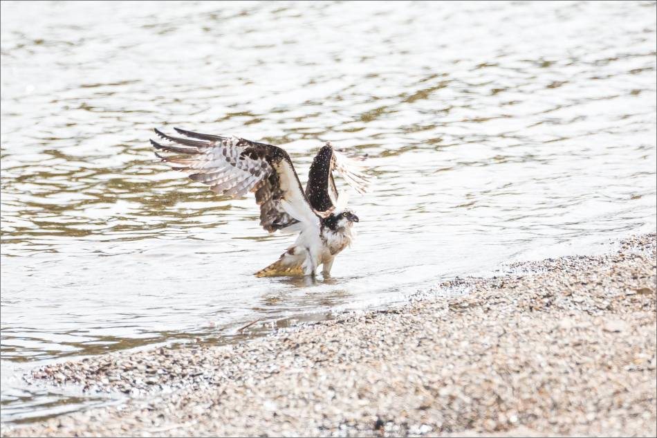 A bathing Osprey - © Christopher Martin-2742