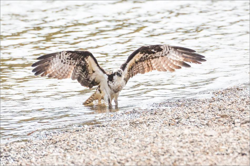 A bathing Osprey - © Christopher Martin-2750