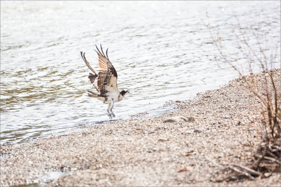 A bathing Osprey - © Christopher Martin-2755