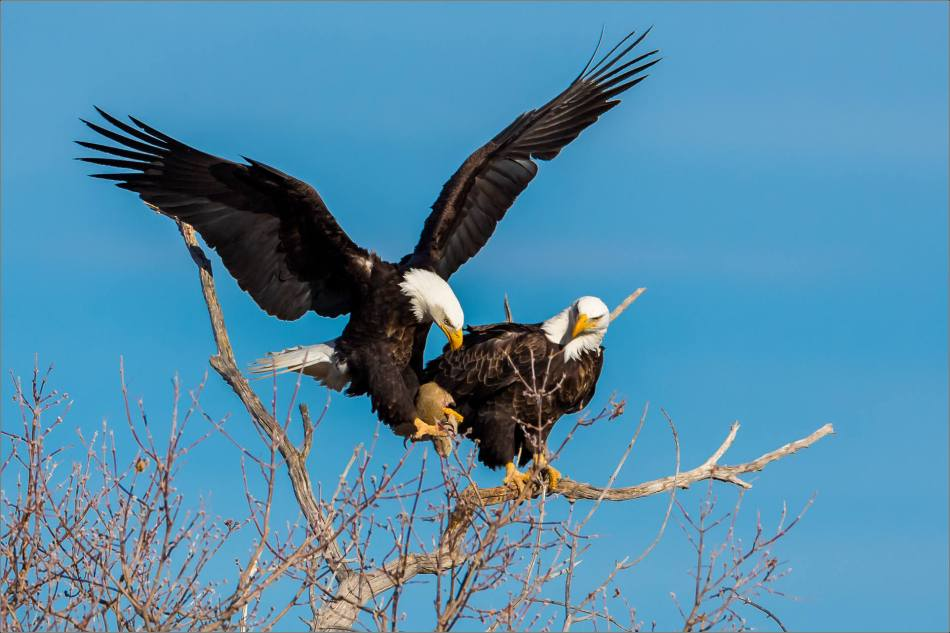 Bald Eagles in the Crowsnest - © Christopher Martin-5968