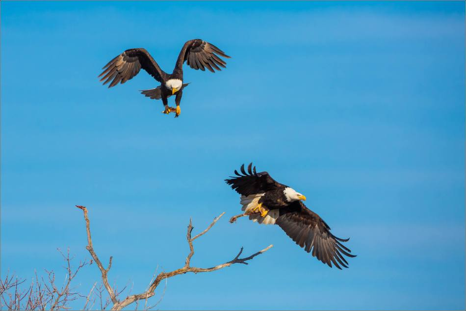 Bald Eagles in the Crowsnest - © Christopher Martin-6153
