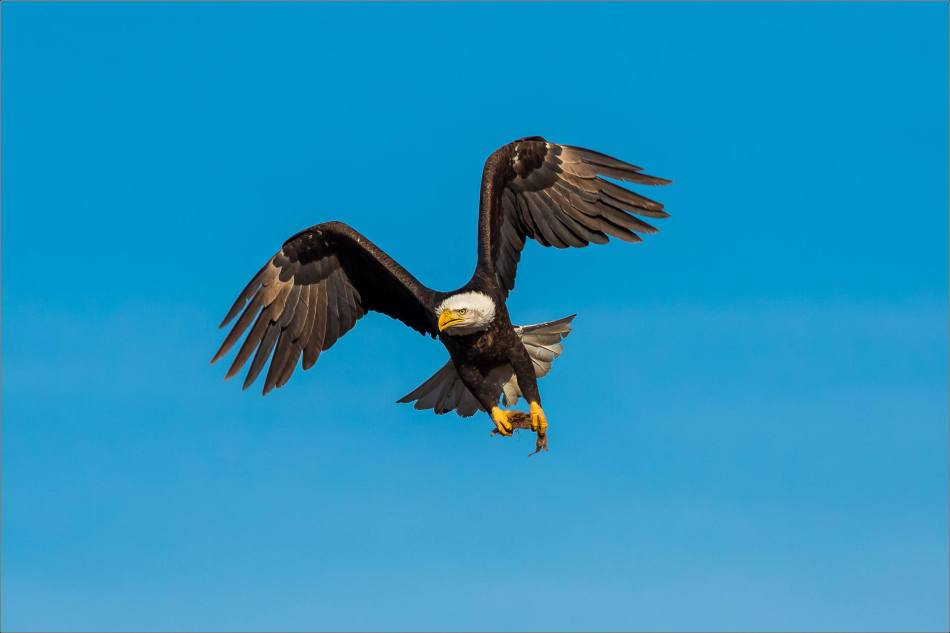 Bald Eagles in the Crowsnest - © Christopher Martin-6157-2